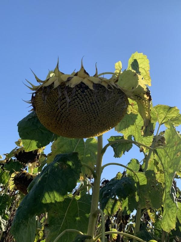 Насіння соняшнику Рембо