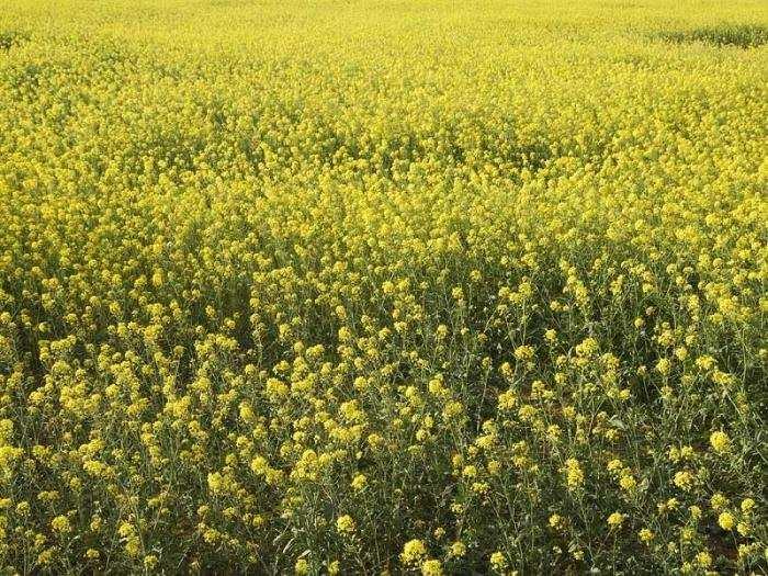 семена горчицы на сидерат купить в Украине