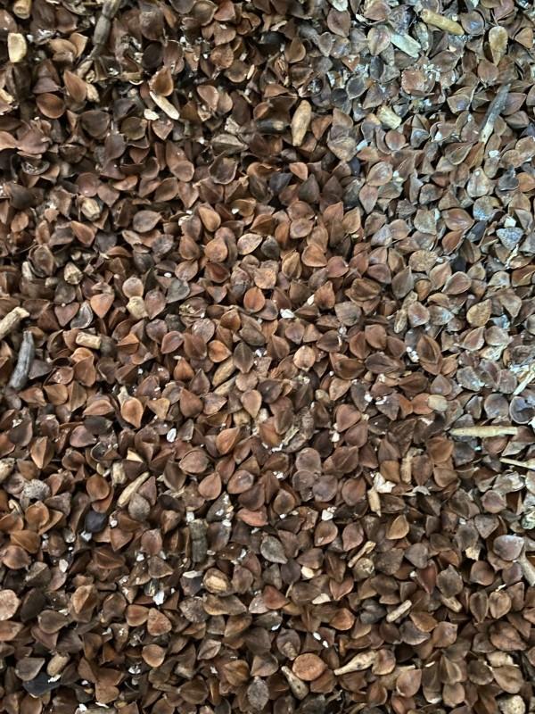 Семена гречихи на сидерат купить