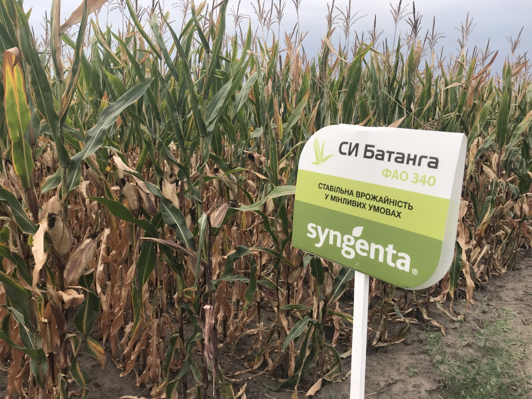 кукуруза гибрид СИ Батанга в Украине