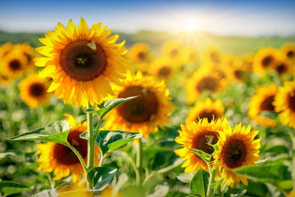 Насіння соняшнику Імідор