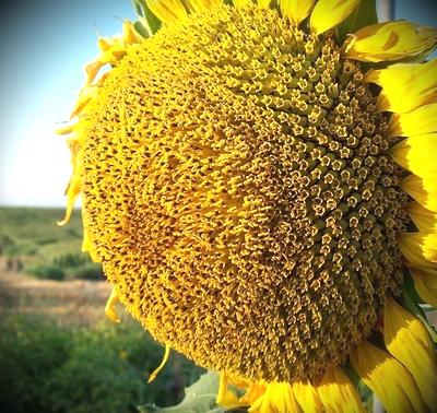 Семена подсолнечника Кастилия