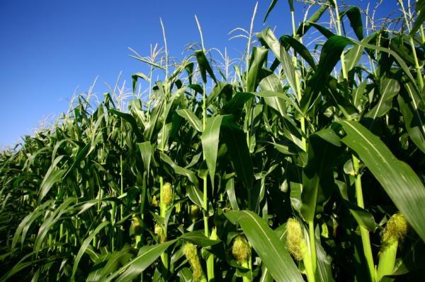 Гібрид кукурудзи Кодивал купити в Україні