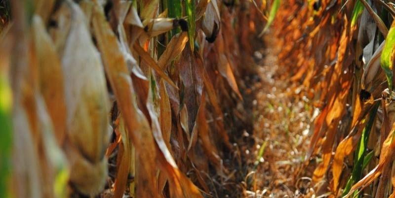 Гибрид кукурузы ДМ Конфес