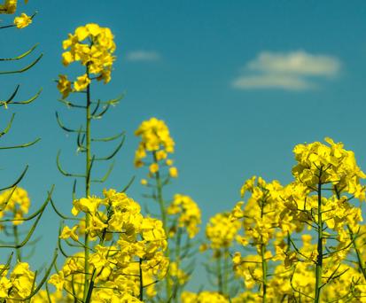 Семена рапса Конрад КЛ купить в Украине