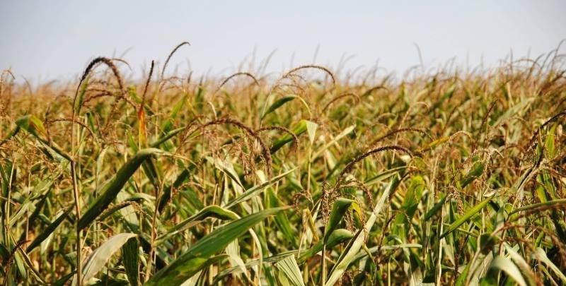 Гибрид кукурузы Красилов 327 МВ