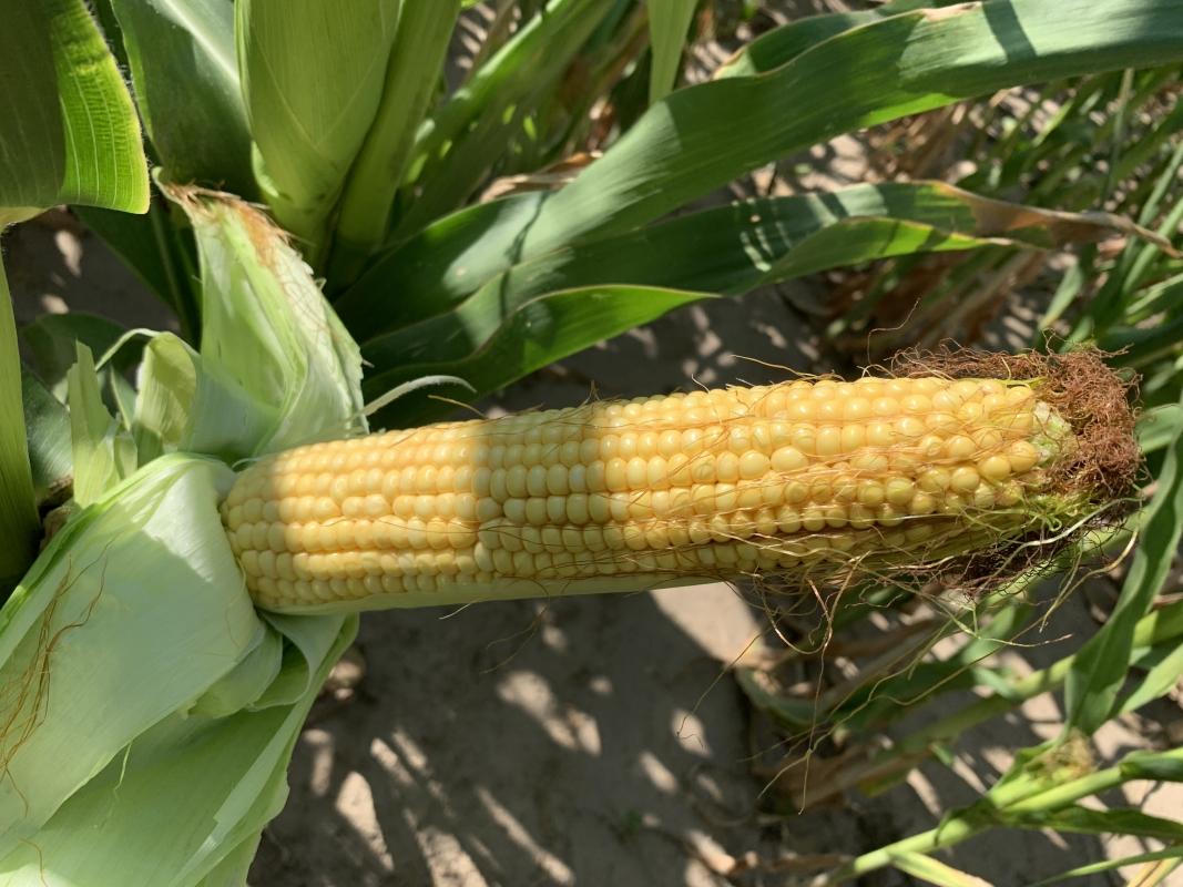 Кукуруза ВН 63