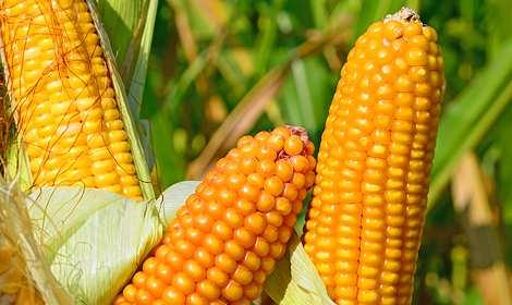 кукуруза гибрид вн 6763 фото