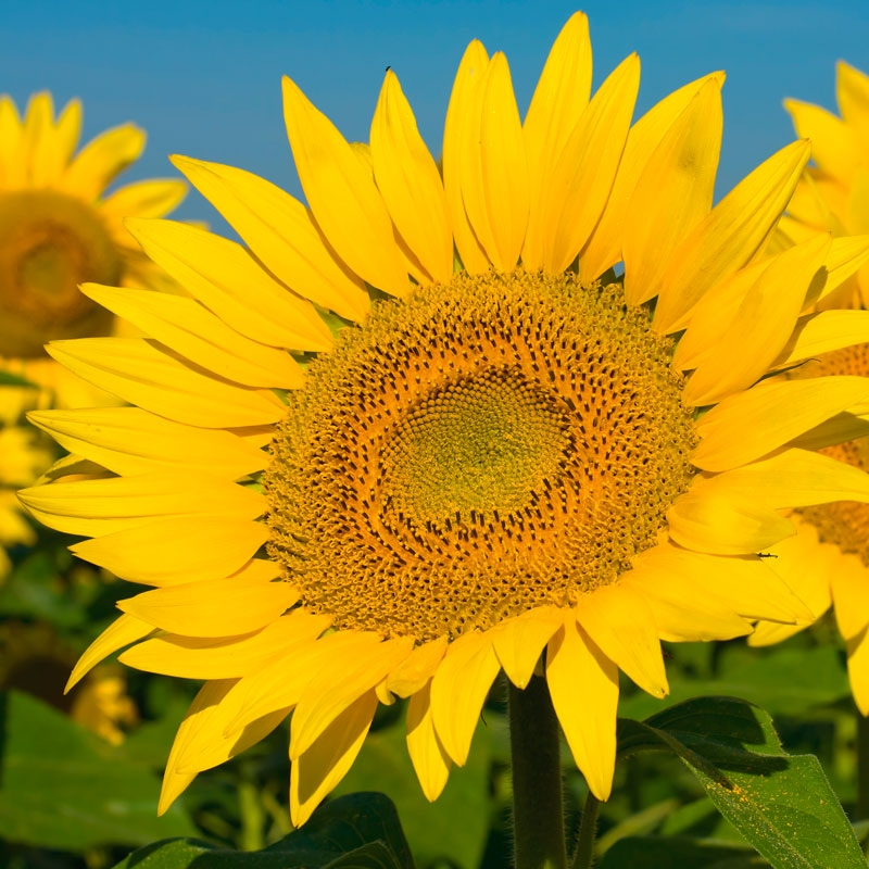 Гібрид соняшнику Лайм купити в Україні