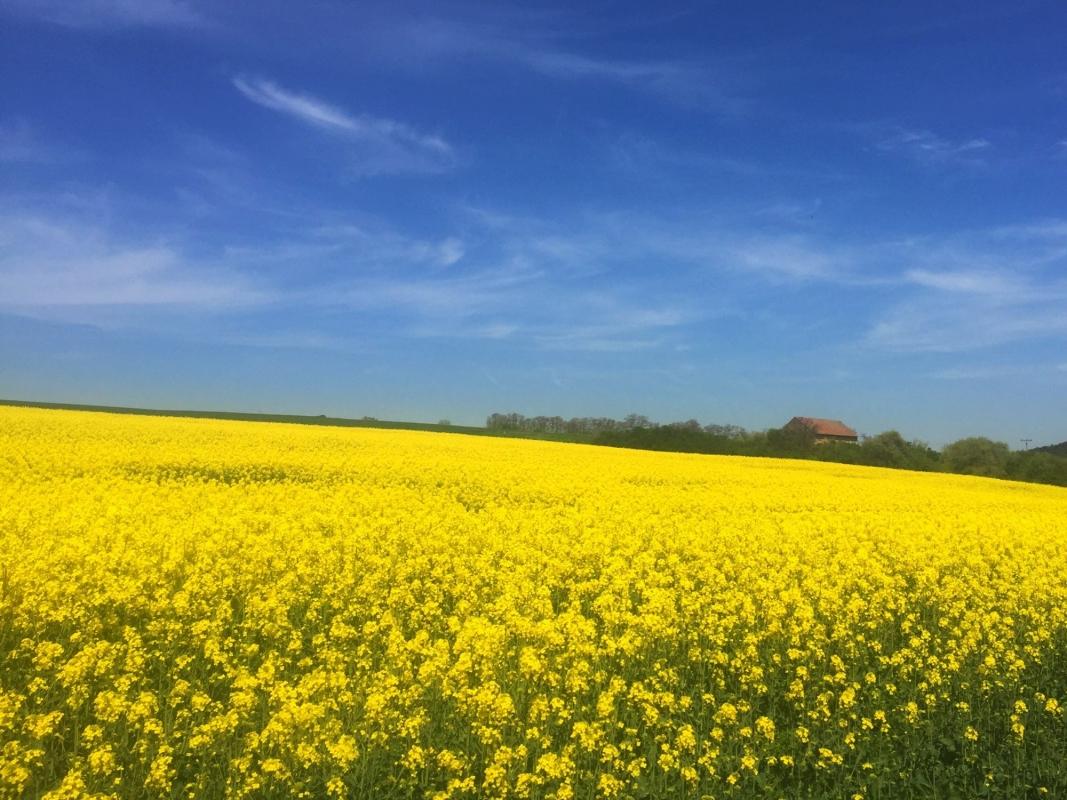 Семена рапса Лексер купить в Украине, описание гибрида, отзывы, цена, доставка