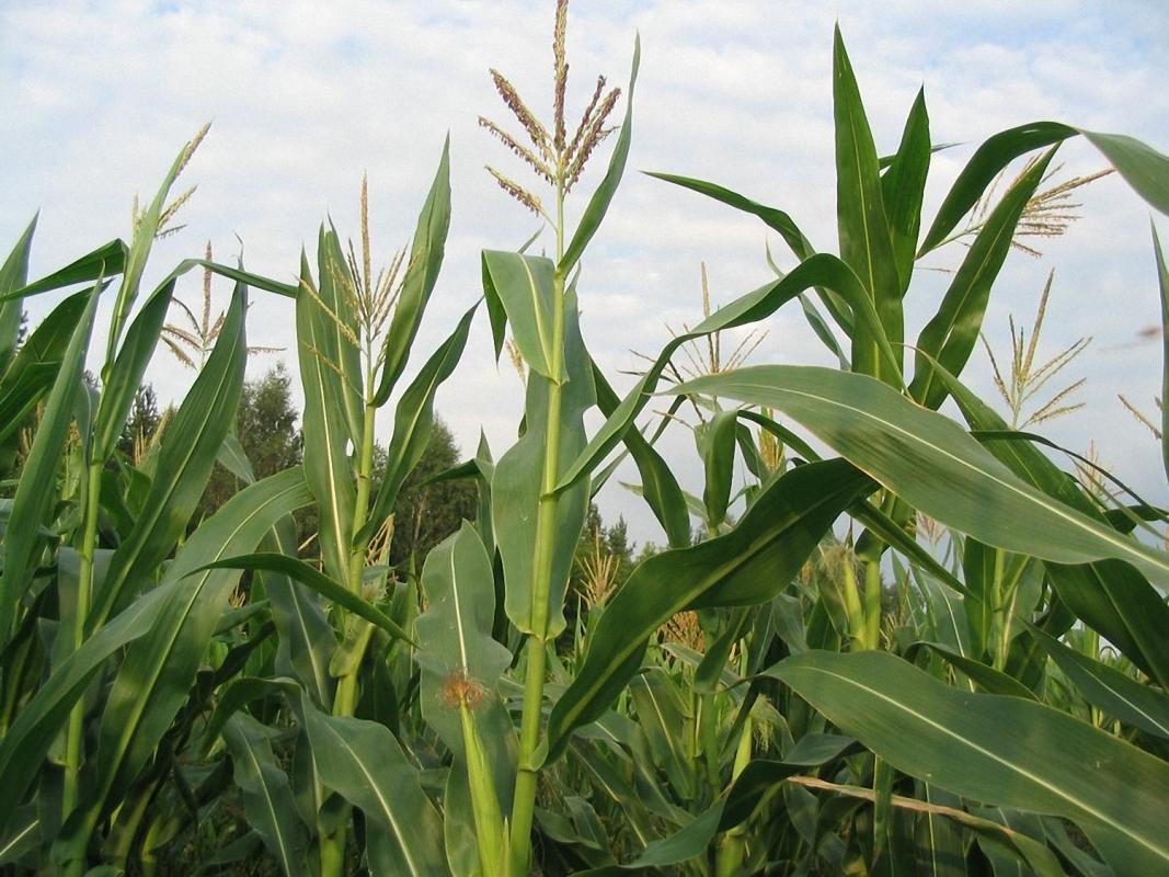 Гибрид кукурузы Лелека
