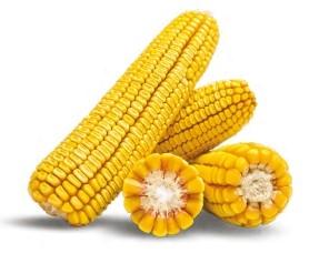 Насіння кукурудзи ЛГ 30360 купити насіння