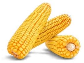 Семена кукурузы ЛГ 3255 купить семена