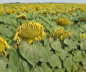 Посевной подсолнечник подсолнух семена гибрид Логос (F1) фракция 3,6 описание характеристика цена купить в Украине