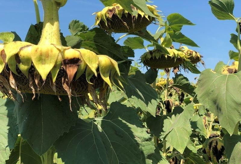 Семена подсолнечника Любаш-Н