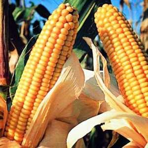 Посівна кукурудза гібрид насіння Любава 267 МВ опис характеристика ціна купити в Україні