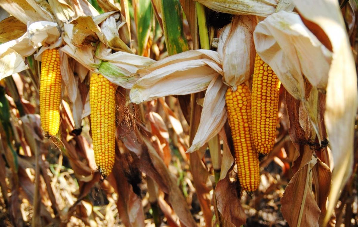 Гибрид кукурузы Марсель