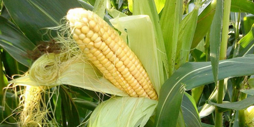 кукурудза гібрид Mas 10.A насіння