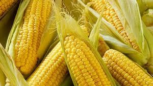 кукуруза гибрид Mas 20.A семена