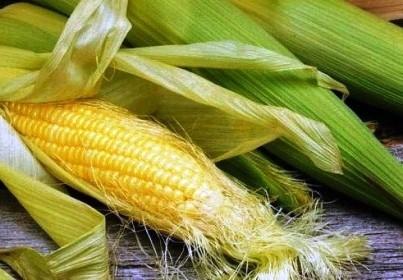 кукурудза гібрид Mas 23.K насіння