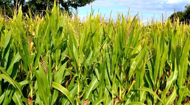 кукуруза гибрид Mas 28.A семена