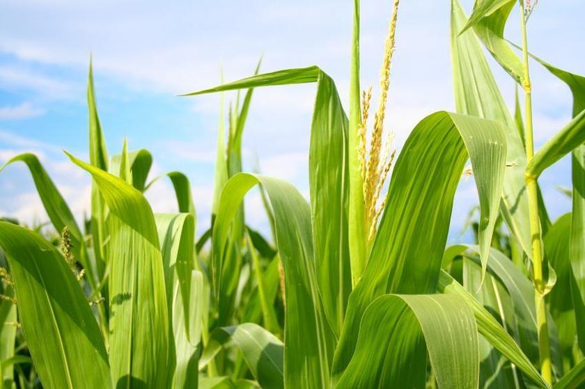 кукурудза гібрид Mas 30.K насіння