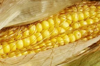 кукурудза гібрид Mas 35.K насіння