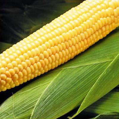 кукурудза гібрид Mas 40.F насіння