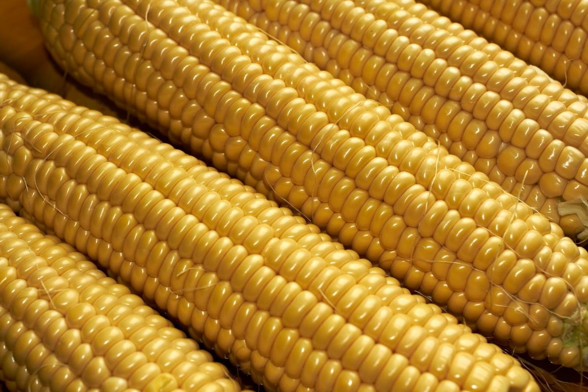 кукуруза гибрид Mas 47.Р семена