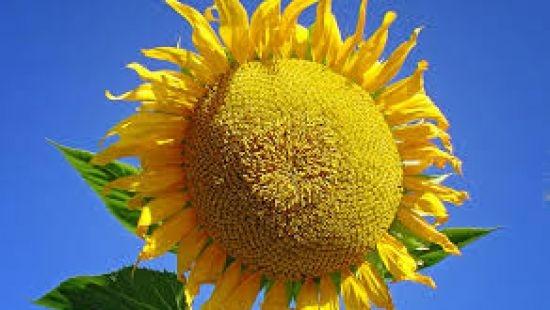 Насіння соняшнику Mas 86.CP купити