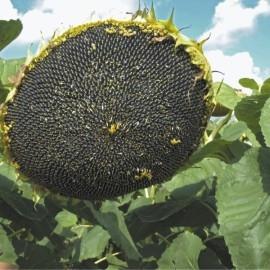Насіння соняшнику Mas 86.OL купити