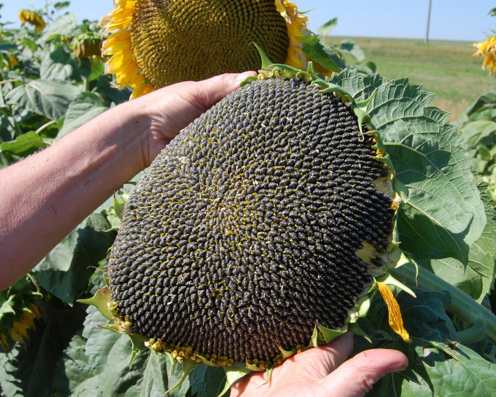 Семена подсолнечника Mas 87.A купить