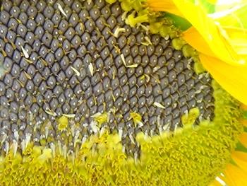 Семена подсолнечника Mas 96.P купить