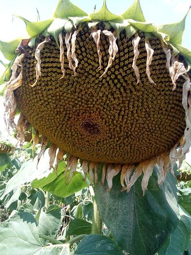 Семена подсолнечника Mas 97.A купить