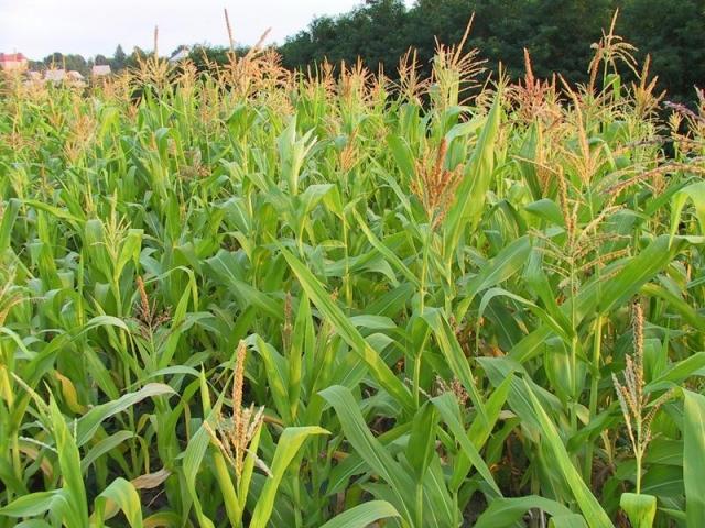кукурудза гібрид Меган насіння