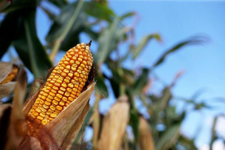 Гибрид кукурузы Монблан