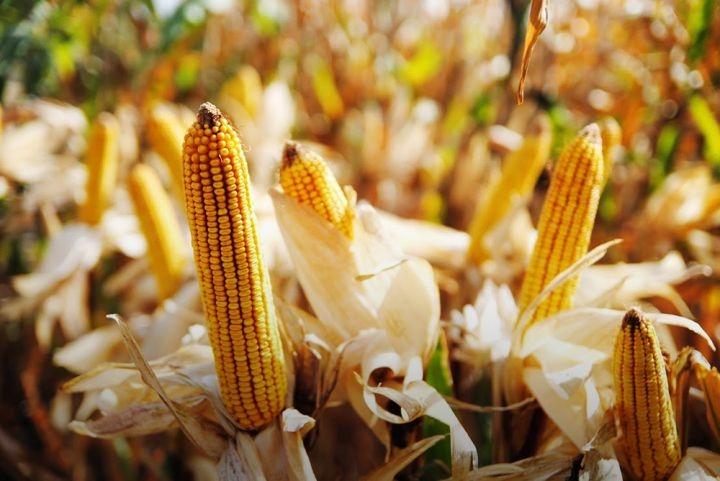 Гибрид кукурузы Муасон