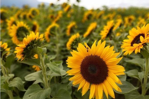 Соняшник гібрид Н4Х470 КЛП купити насіння