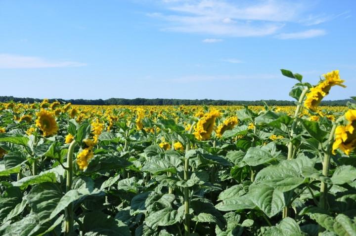 Соняшник гібрид Н4Х505 КЛ купити насіння
