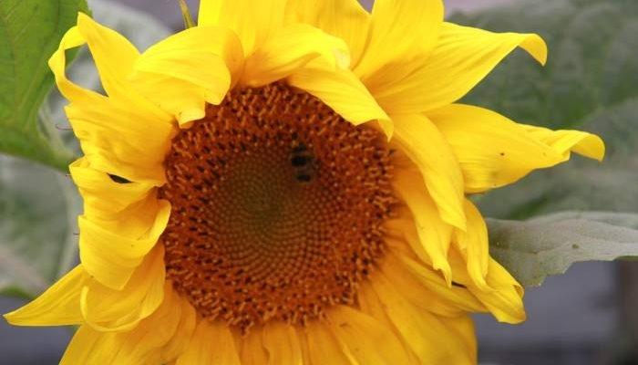 Насіння соняшнику Нео