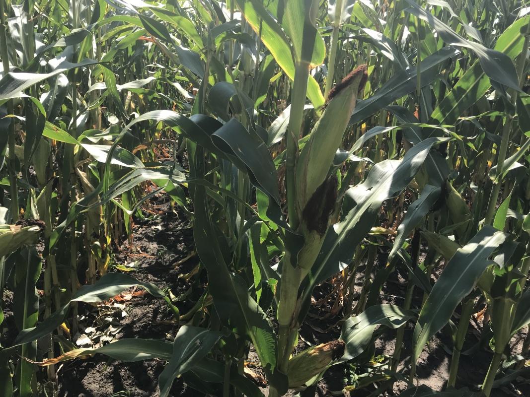 Кукурудза гібрид НС 3022 в Україні