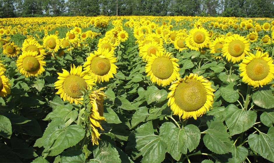 Подсолнечник гибрид НС Оскар купить семена
