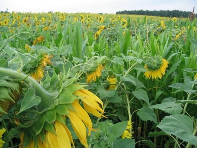 Соняшник гібрид НС Аркона (ВЛСП) купити насіння