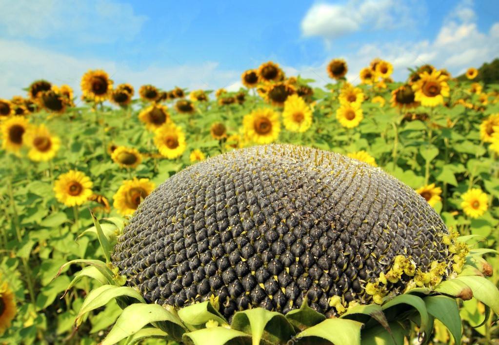 Подсолнечник гибрид НС Аякс (ДФСП) купить семена