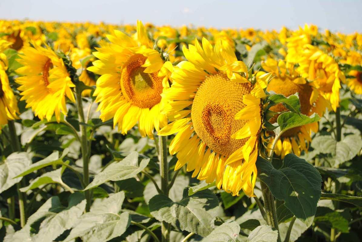 Соняшник гібрид Олівер купити насіння