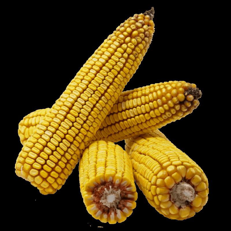 Гибрид кукурузы Оршанец купить в Украине