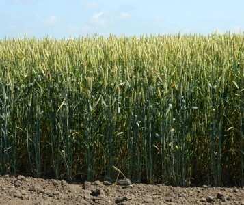Посівна озима пшениця насіння сорт Подолянка опис характеристика ціна купити в Україні