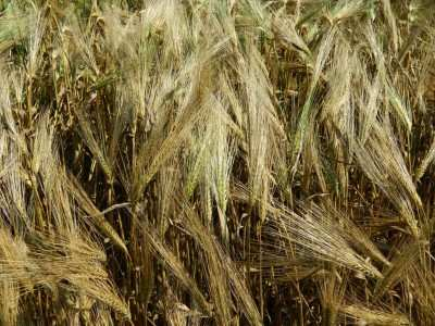Посівний озимий ячмінь насіння сорт Абориген опис характеристика ціна купити в Україні