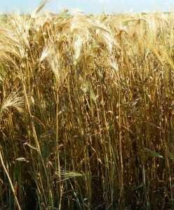 Посівний озимий ячмінь насіння сорт Достойний опис характеристика ціна купити в Україні
