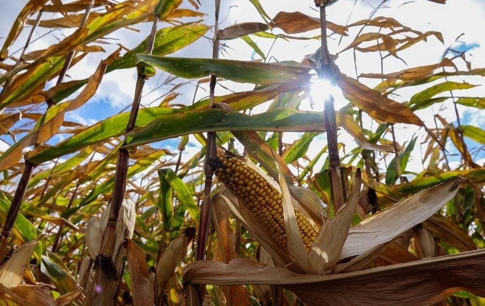кукуруза гибрид P0074 семена